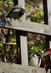 2 great tit chicks waiting to feed, MW