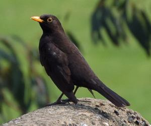 blackbird, MW