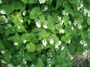 Comfrey with white flower, May 2013