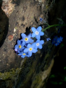 Forget-me-nots, May 2013