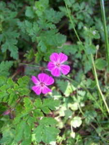 This looks a bit like Herb Robert - can you help identify it? May 2013