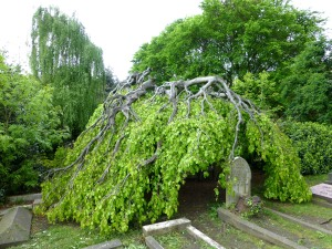 The famous 'weeping beech'
