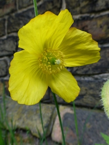 Yellow poppy, May 2013