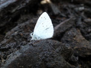 We were visited by a holly blue, interested in the fresh mulch