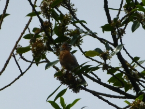 A chaffinch in song, June 2013. Listen for its distinctive 'Sooweeet' call
