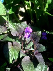 Violets, May 2013